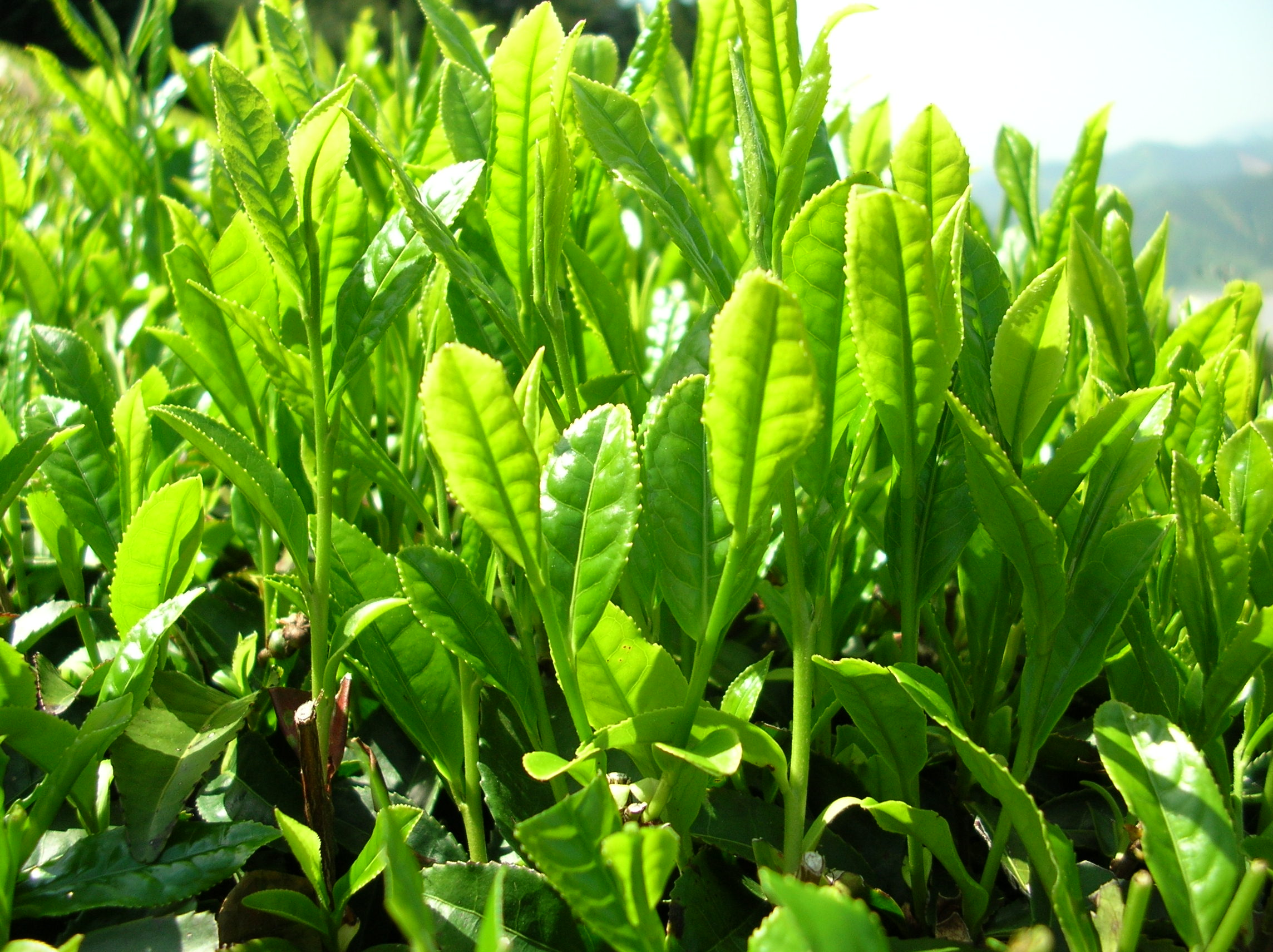 Camellia-Sinensis-new-growth.jpg