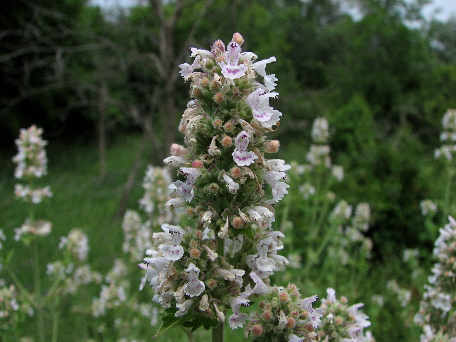 dry-herb-catnip.jpg